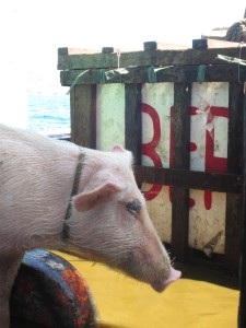 coron ferry pig